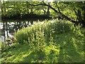 SK1449 : Nettles by the Dove by Derek Harper