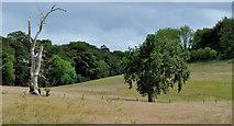 J4681 : Trees, dead and living, Crawfordsburn by Albert Bridge