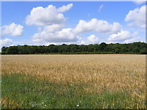 TM3864 : Barley Field near the footpath to Gardeners Belt by Adrian Cable