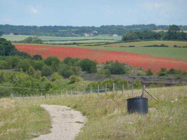 Field of poppies, seen from a tip