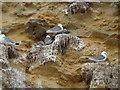 NZ3964 : Kittiwakes nesting on Marsden Cliff Nature Reserve by Alexander P Kapp