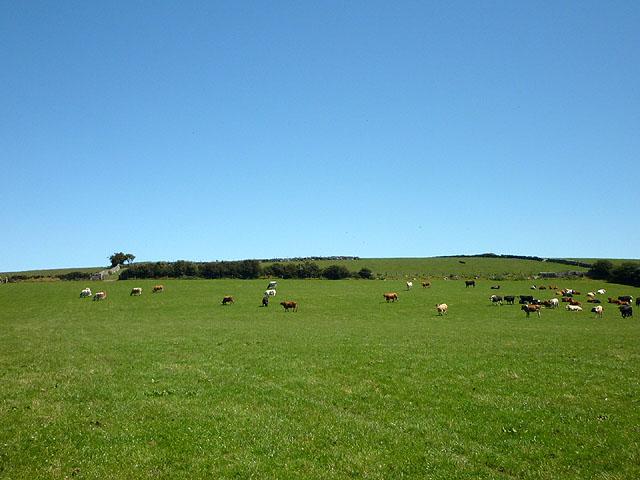 Cattle east of Little Urswick