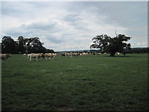 SE7466 : Large  Field  Large  Herd by Martin Dawes