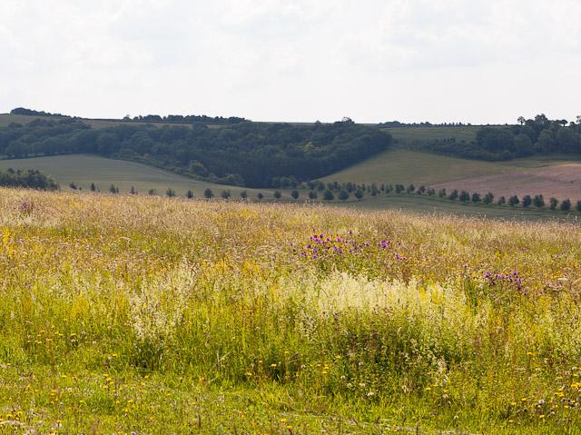 Wild flowers on Magdalen Hill Down