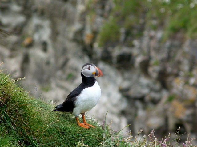 Puffin on the cliffs near Wester Clett