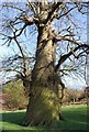 TQ5353 : Twisted tree, Knole Park by N Chadwick