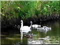 H8061 : Swan with cygnets, Dungannon Lake by Kenneth  Allen