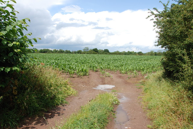 A Field Of Sweetcorn, Pipe Lane, Hill Ridware