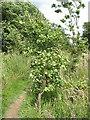 TQ5337 : Young oak by Stephen Craven