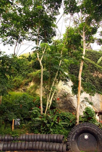 India cultivă primii arbori de cauciuc produși prin NBT