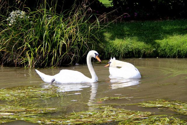 Pair of Mute Swans, The New River, Broxbourne, Hertfordshire