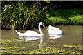 TL3707 : Pair of Mute Swans, The New River, Broxbourne, Hertfordshire by Christine Matthews