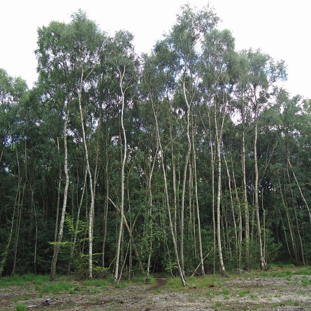Stand of silver birches
