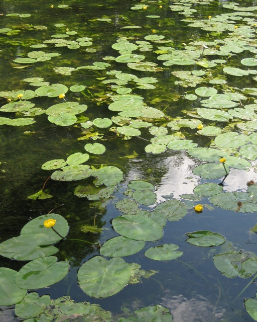 Water-lilies on the Leam: 1