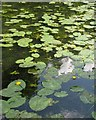 SP3165 : Water-lilies on the Leam: 1 by Robin Stott
