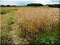 SE4314 : Oils seed rape crop, off Pontefract Road by Christine Johnstone