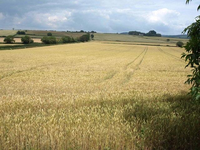 Wheat field by Stantyway Road