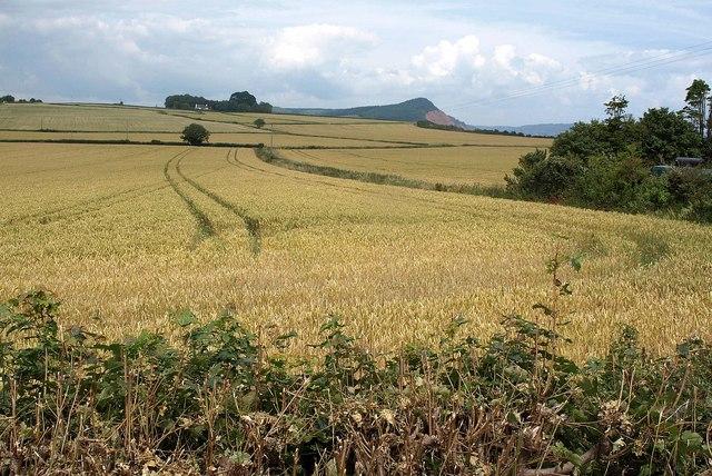 Wheat field by Otterton sewage works