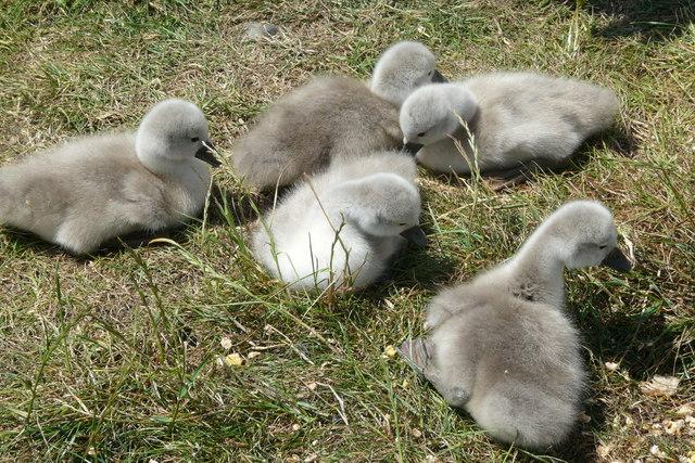 Swan Cygnets in the sun near Porthwen, Anglesey