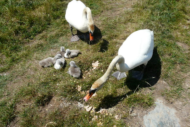 Feeding the Swans near Porthwen Anglesey