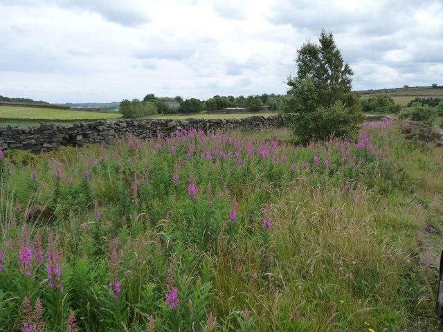 Rosebay willowherb on the verge, Black Moor Lane