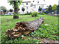 TQ3978 : Fallen lime tree trunk by Stephen Craven