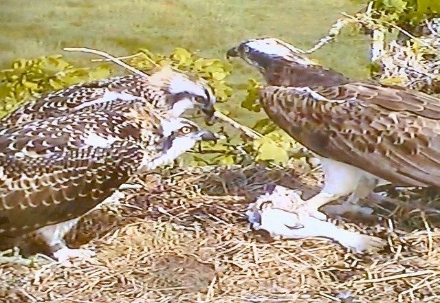 Wigtown Bay Ospreys