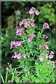 TL3807 : Rosebay Willow Herb (Epilobium angustifolium), River Lee Navigation, Hoddesdon by Christine Matthews