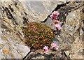 SW7761 : Thrift in the rock by Steve Daniels