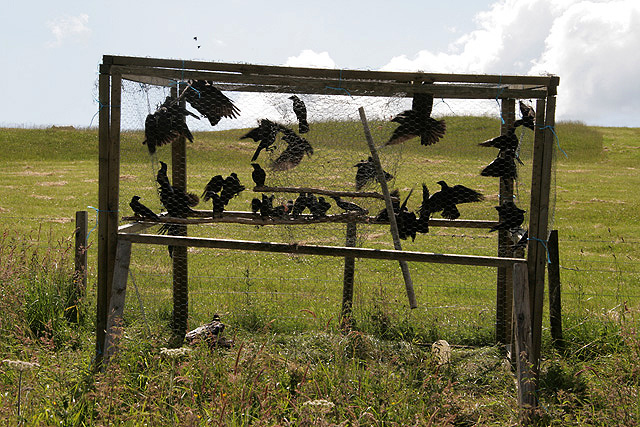 A crow trap at Whitchesters Farm