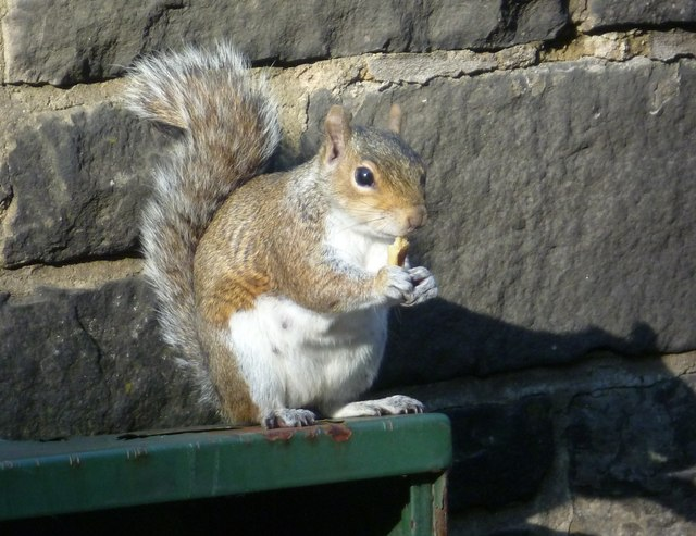 Grey squirrel in King's Stables Road