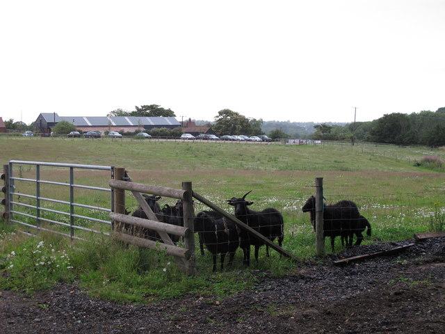 Black sheep in field near Jimmy's Farm