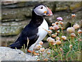 NC9265 : Puffin and Sea Pinks by Middle Clett by sylvia duckworth
