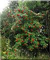 SJ8956 : Rowan berries by Jonathan Kington