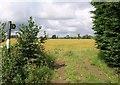 ST9478 : Barley by Sutton Lane by Derek Harper