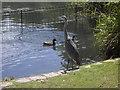 TQ2877 : Heron on bank of lake in Battersea Park by PAUL FARMER