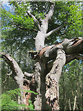 TQ4532 : Damaged tree in The Park by Oast House Archive