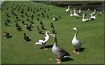 SD6838 : Geese and Ducks, Stonyhurst College, Hurst Green, Clitheroe BB7 9PZ by Robert Wade