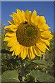 SE9727 : Melton Bottom sunflower by Paul Harrop