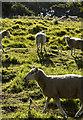 SE9628 : Welton Dale sheep by Paul Harrop