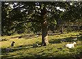 SE9628 : Resting sheep in Welton Dale by Paul Harrop