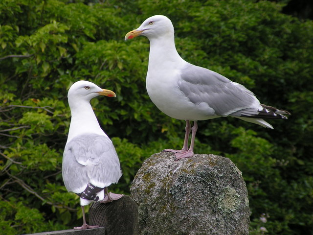 Hierarchy in the gull world