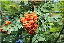 SO7641 : Rowan berries in July by Bob Embleton