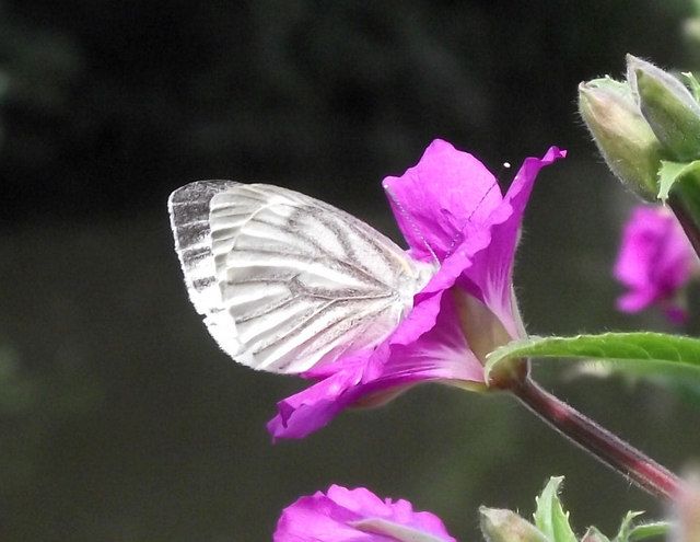 Butterfly on Willowherb flower