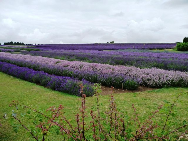 Lavender crop at Hill Barn Farm