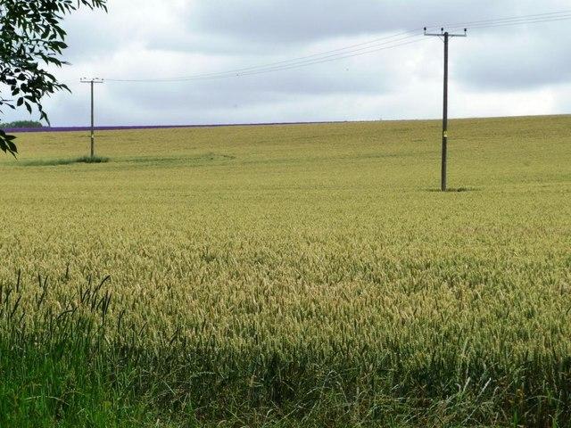 Telegraph poles in a wheatfield, behind Hill Barn Farm