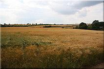 SP9599 : Barley at Wakerley by Richard Croft