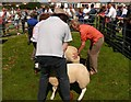 NX0660 : Judging the Sheep by Andy Farrington