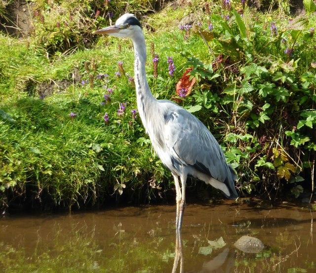 Grey Heron, standing still