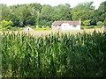 SU1625 : Maize crop near Bodenham by Maigheach-gheal